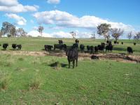 cattle 007.jpg